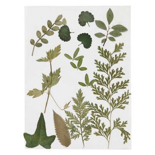 20 dried and pressed leaves - Green