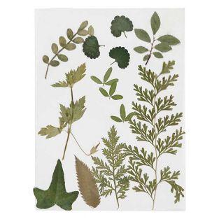 20 feuilles séchées et pressées - Vert