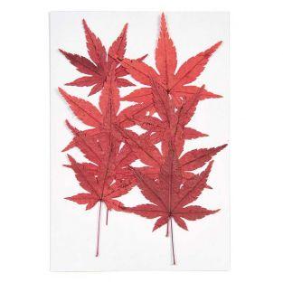 Getrocknete und gepresste Ahornblätter