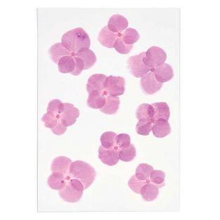 Ortensie rosa essiccate e pressate