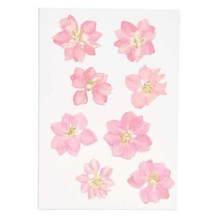 Delphinium rosa essiccati e pressati