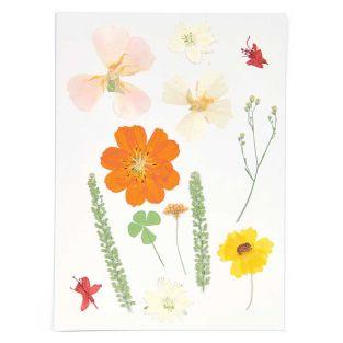 Fleurs séchées et pressées - Orange