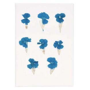 Clavel chino azul seco y prensado