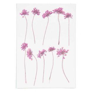 Fiori rosa ammi essiccati e pressati