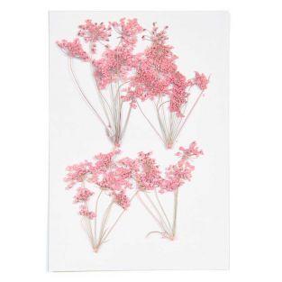 Ammi in ramo rosa, essiccate e pressate