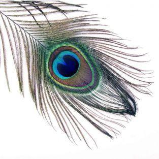 10 plumas del pavo real